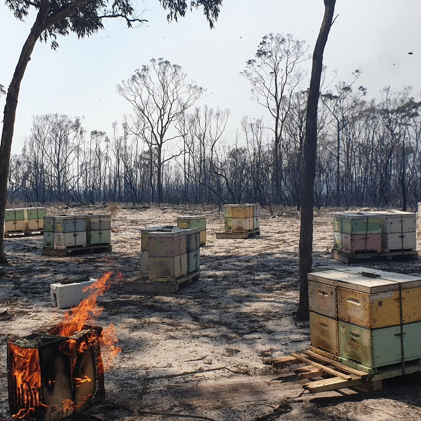 bushfires capilano honey
