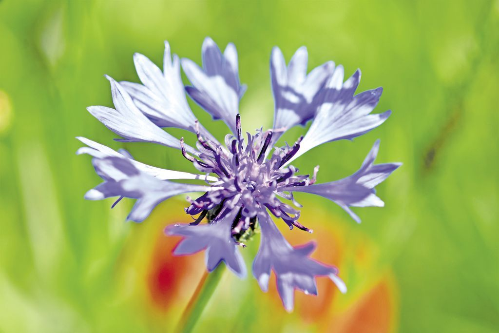 alpine-cornflower-3441347